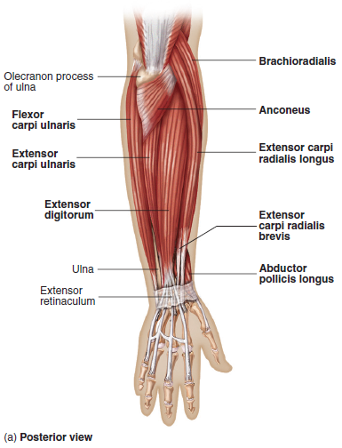 Elbow Anatomy - MKS