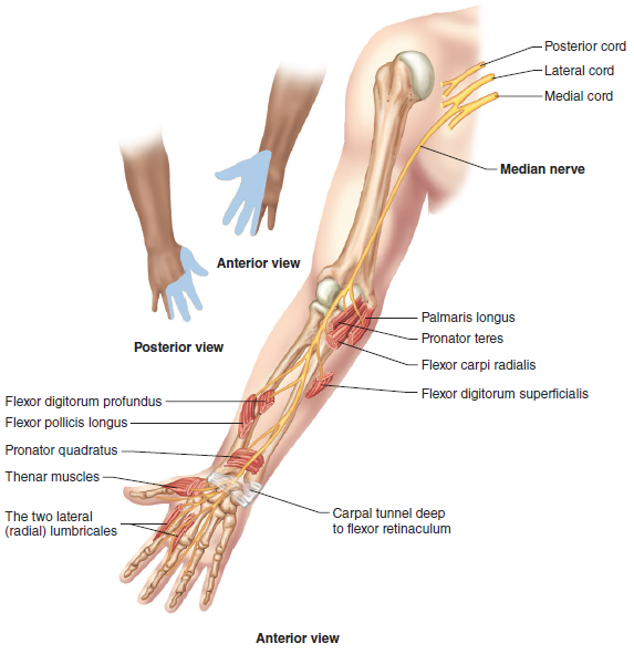 Elbow Anatomy Mks
