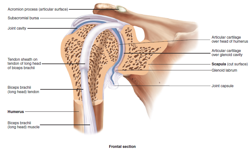 Shoulder Anatomy - MKS